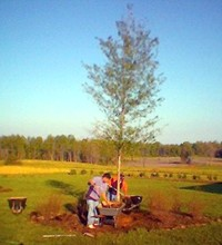 picture of large Willow Oak